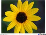 "Poster 24""x18"" - Yellow Daisy"